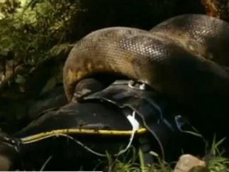 Un reportero se deja comer por una anaconda