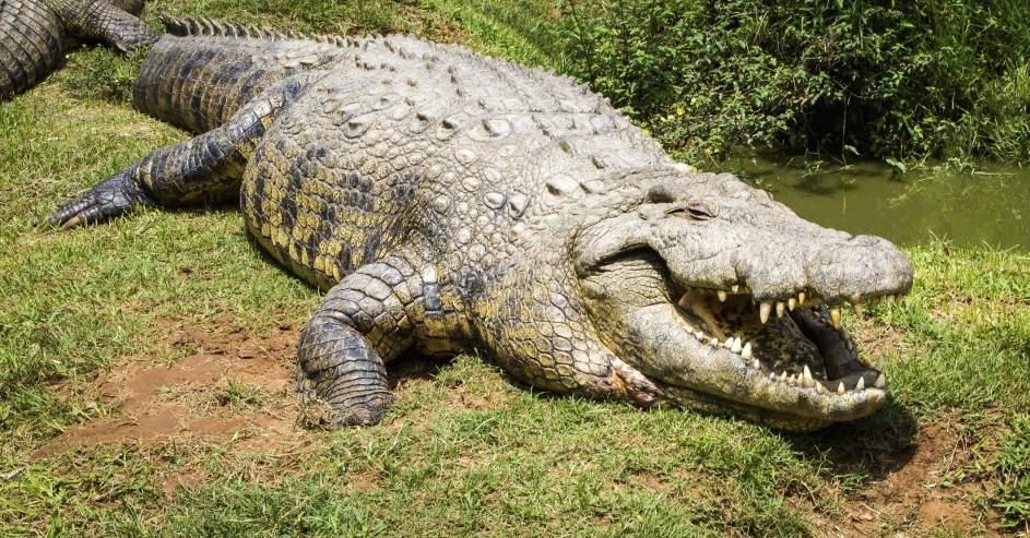 Resultado de imagen para cocodrilo