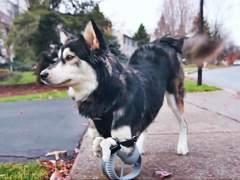 Derby, el perro que puede volver a caminar gracias a una pr�tesis 3D