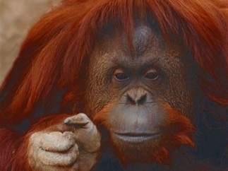 Orangutana Buenos Aires