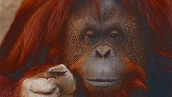 Un tribunal argentino reconoce el derecho a la libertad a una orangutana