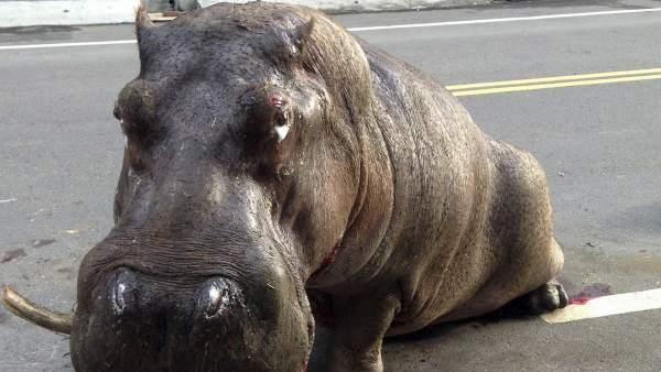 Hipopótamo fallecido en Taiwán