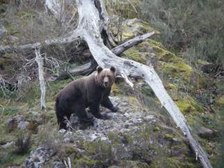 oso pardo cantábrico