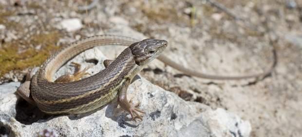 ¿Sabrías reconocer a estos reptiles, todos ellos presentes en España?