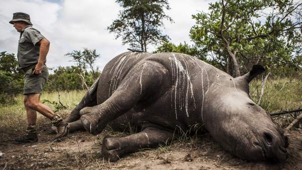 Fotos de rinocerontes muertos 97
