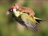 El vuelo de una comadreja sobre un p�jaro