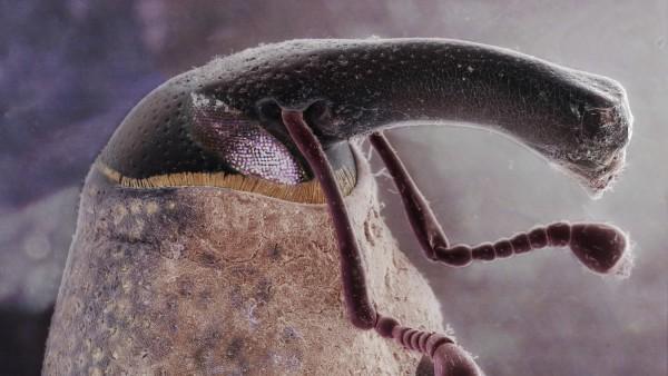 Boll weevil (Anthonomus grandis), SEM and LM composite