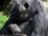 Nace una cría de gorila en el zoo de Barcelona