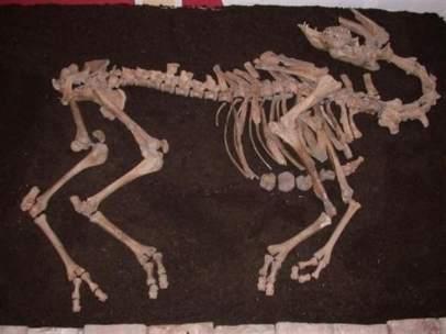 Esqueleto del camello.