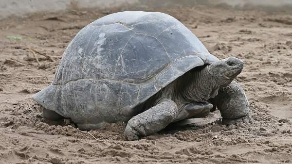 Ejemplar de tortuga gigante