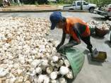 Cultivadores de caucho
