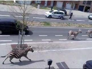 Cebras en Bruselas