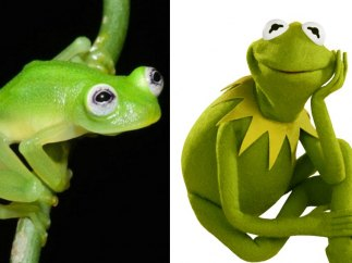 La verdadera rana Gustavo