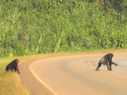 Chimpancés cruzando la carretera.
