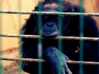 El chimpancé Adán