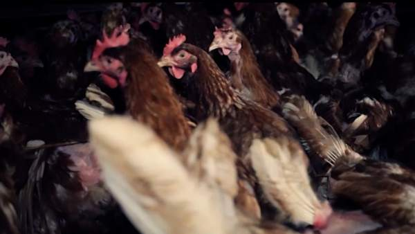 Grupo Dulcesolelimina les gàbies de la cria de les seuesgallines