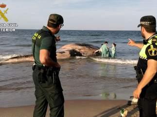 Hallan una ballena muerta en la playa de Cullera (Valencia)