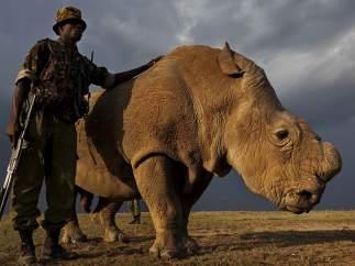 El último rinoceronte blanco del norte