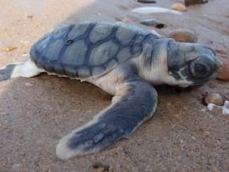 Una cría de tortuga plana yendo hacia el mar