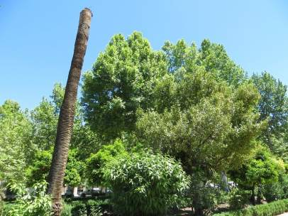 Una de las palmeras muertas por la plaga del picudo rojo.