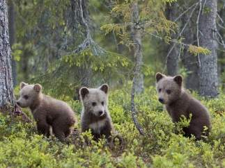 Familia de osos pardos
