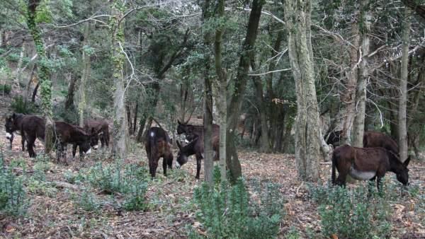 Burros pastan en las Masías de Gaverres para reducir el riesgo de incendios forestales.
