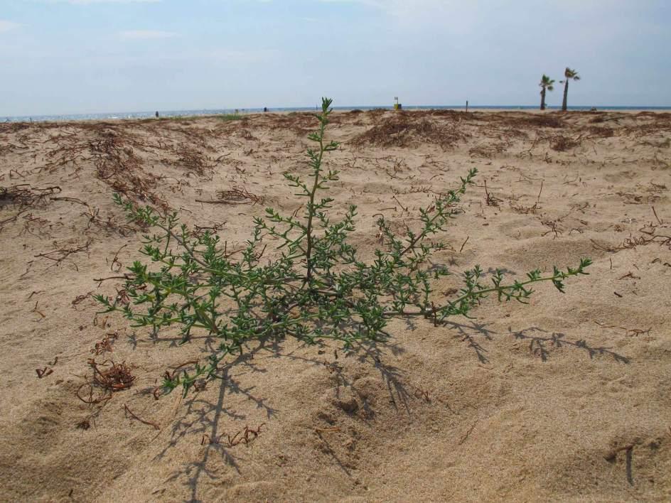 Primer campo de dunas con plantas marinas