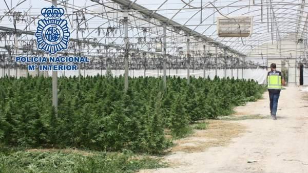 Las plantaciones de marihuana se disparan porque son for Donde venden plantas baratas