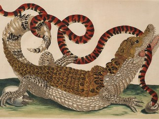 Maria Sibylla Merian, Plate 69 from Dissertation in Insect Generations and Metamorphosis in Surinam, 2nd Ed., 1719