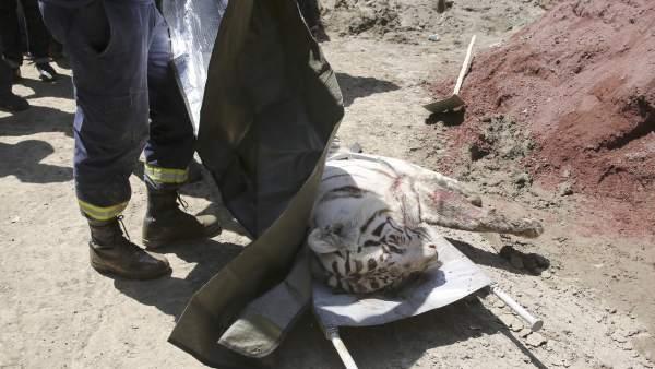Un tigre albino que huyó del zoo de Tiflis mata a una persona de una dentellada en la garganta