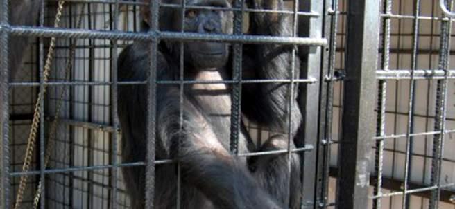 La chimpancé Cheeta