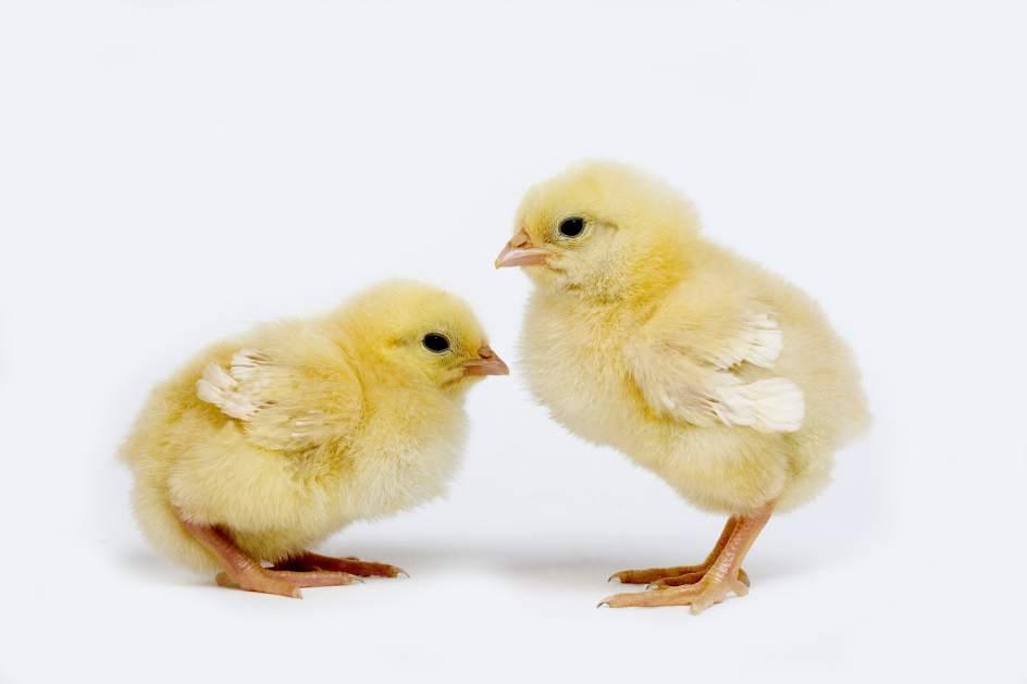 deporte polluelo