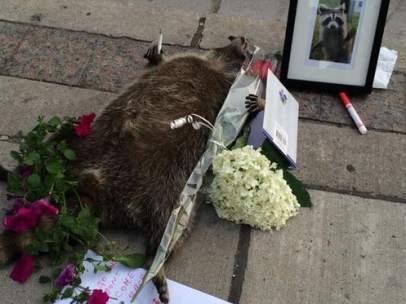 Mapache muerto en Toronto
