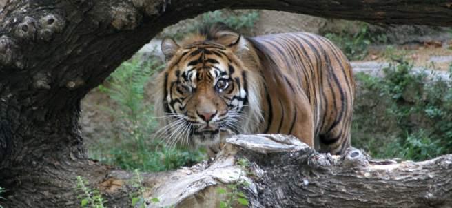 El zoo de Barcelona recibe un tigre de Sumatra