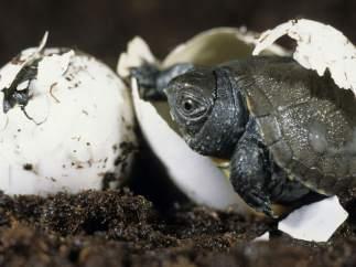 Tortuga saliendo del huevo