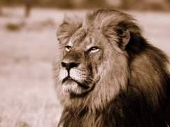 El hijo del león Cecil muere tiroteado en Zimbaue