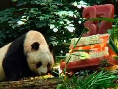 Jia, el oso panda más viejo en cautividad