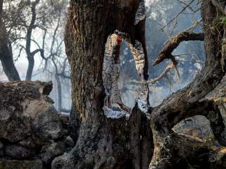 Árbol calcinado por incendio forestal de la Sierra de Gata.