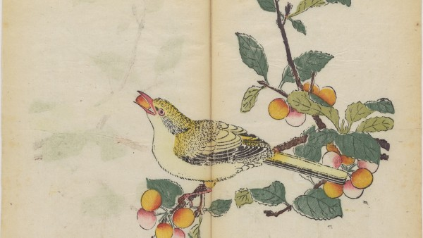 Oriole eating a cherry