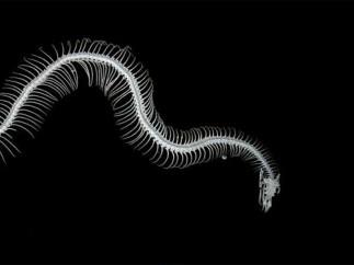 Esqueleto víbora bufadora
