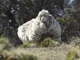 La oveja Chris, nuevo récord del mundo de esquila