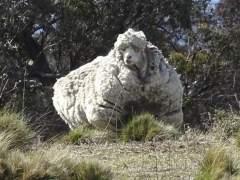 R�cord mundial: Esquilan�40,45 kilos de lana de una oveja en Australia