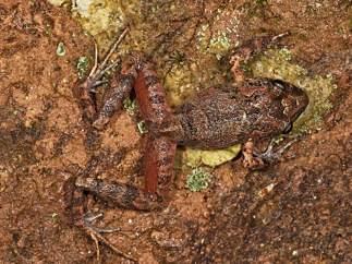 Una rana desconocida