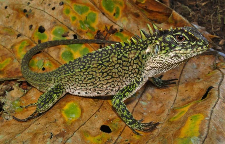 Lagarto Enyalioides. Este género de lagartos, de la familia Hoplocercidae, incluye 15 especies que se distribuyen por la región noroeste de Sudamérica desde Colombia al norte de Bolivia, y también en Panamá.