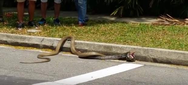 Pelea entre serpientes