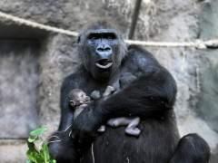Los gorilas de montaña, su vida por comer un poco de sal