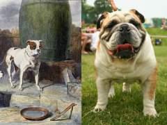 Bulldog ingl�s