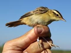 Una de las aves m�s amenazadas de Europa ha sido detectada en San Mart�n de la Vega