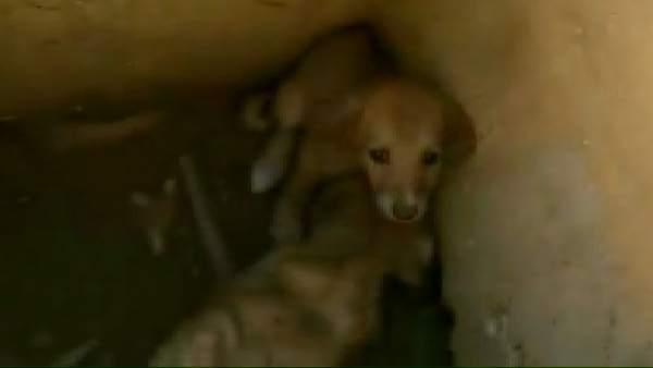 Ver v�deo Tres cachorros son rescatados de una alcantarilla