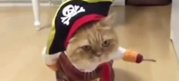 Gato pirata